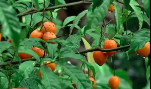 ibogaine plant